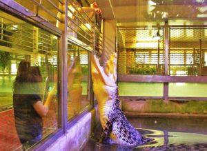 Golem - krokodýl mořský, největší chovaný krokodýl v ČR (4,7m/500kg)