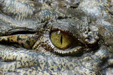 crocodile-630233_1280