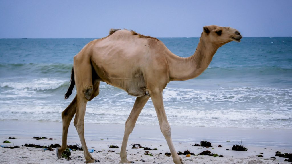 Mombasa, velbloud