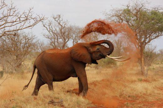 Slon v Keni