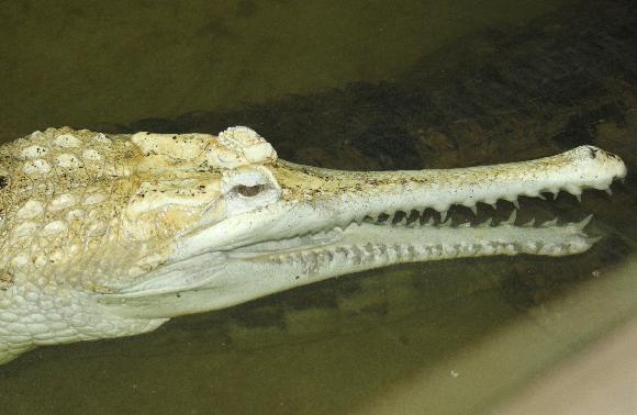 Bílý gaviál sundský - jediný na světě