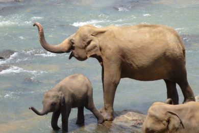 elephant-2419945_1280